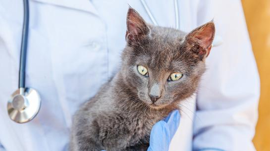 Graue Katze auf dem Arm eiines Arztes