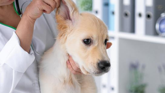Junger Hund wird von einer Ärztin untersucht