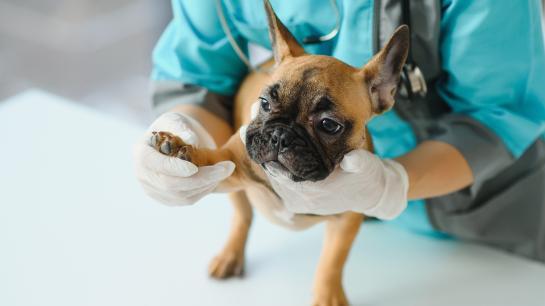 Hund wird auf Artthrose untersucht